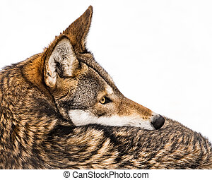 A Profile Portrait of a Female Red Wolf Against a White Background