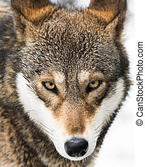 Red Wolf in Snow V