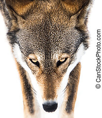Red Wolf in Snow VI