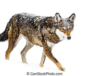 Red Wolf in Snow VII