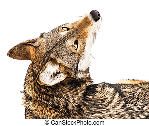 Red Wolf in Snow XI