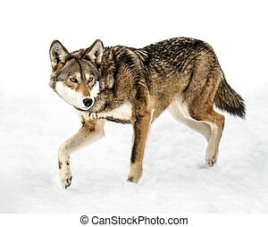 Red Wolf in Snow XIII