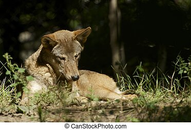 Red Wolf in the Sun. Red Wolf ( Canis Rufus ) is Named for Their Red-Tinged Fur. Animals Collection.