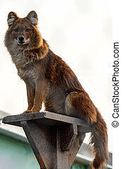 red wolf in the zoo, beast of prey in a cage, red fur.