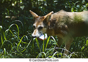 Red wolf endangered species