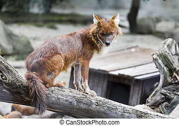 Red wolf sits on a fallen tree