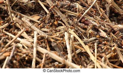 Red wood ants in the forest