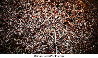 Red wood ants moving on the anthill