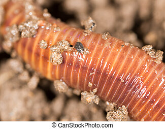 red worm in the ground. macro
