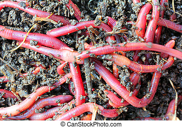 red worms in compost