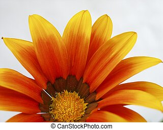 red-yellow, 2, flor