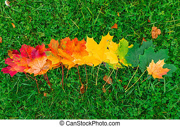 Red, yellow and green leaves of a maple lined in a row on the grass in an autumn park