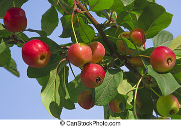Red yellow apples on the branches of a tree with green leaves against a blue sky close up