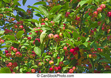 Red yellow apples on tree branches with green leaves on a blue sky background