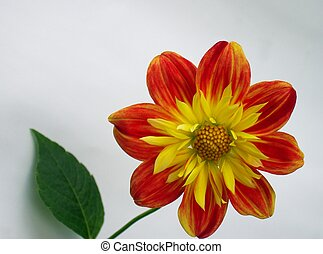 Red-yellow flower 1