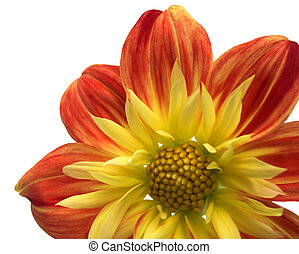 Red-yellow flower 7
