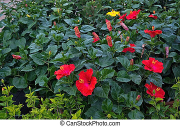 Red yellow hibiscus flowers