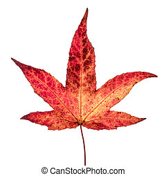 Red yellow Japanese maple leaf