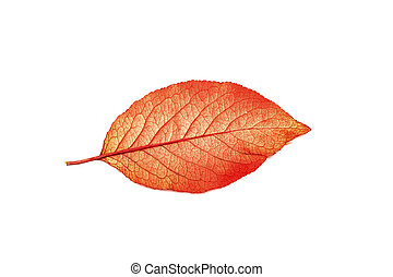 Red yellow leaf of tree isolated on white background