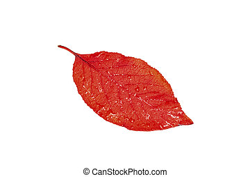 Red yellow leaf of tree with water drops isolated on white background