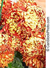 Red-yellow orange chrysanthemums.