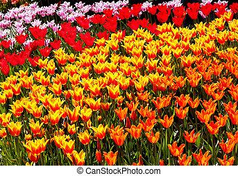 Red Yellow Orange Tulips Flowers Skagit Valley Washington State