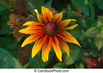 Red yellow Rudbeckia flower in nature. Yellow rudbeckia flower in the garden.
