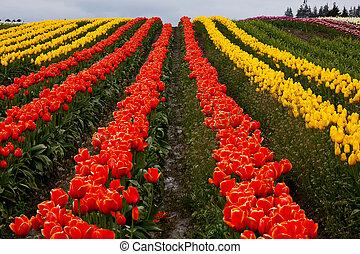 Red Yellow Tulip Hills Flowers Skagit Valley Washington...