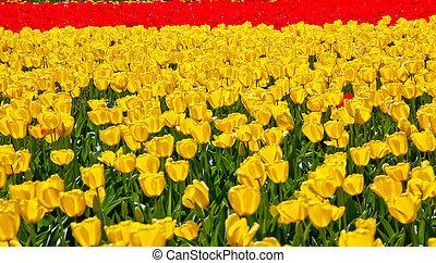 Red Yellow Tulips Flowers Skagit Valley Washington State