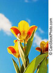 red-yellow, tulpen, auf, a, hintergrund, von, der, blauer himmel