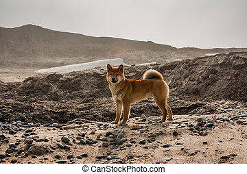 Red young dog shiba-inu standing on beach