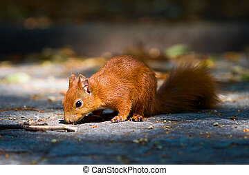 Red young squirrel on the pavement in Warsaw Royal Baths park