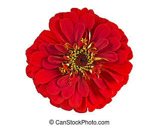 Red zinnia flower isolated on white background, top view