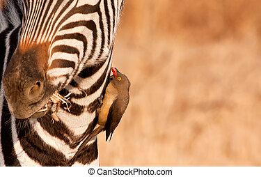 Redbilled-oxpecker pecking on zebra's neck getting rid of ...