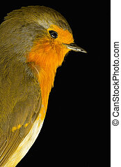 Redbreast - Robin