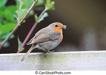 Redbreast with food