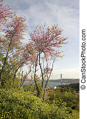Redbud and Istanbul