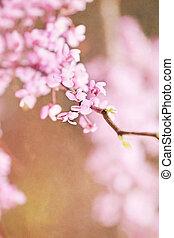 redbud, fleurs