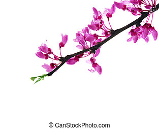 Redbud flower on branch