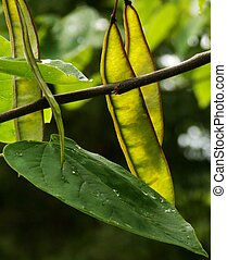 Redbud Leaves and Seed Pods