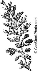 redcedar), weinlese, plicata, (western, thuja, engraving.