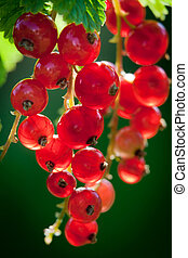 Redcurrant in summer garden  - Redcurrant in summer garden