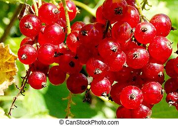 redcurrant on bush