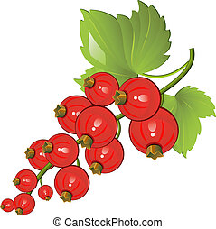 Redcurrant - Vector illustration of red currants over white...