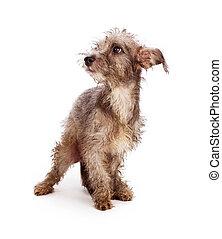 redding, scruffy, dog, verlegen