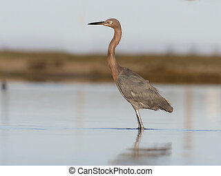 Reddish egret, Egretta rufescens, Single bird in water, Baja...