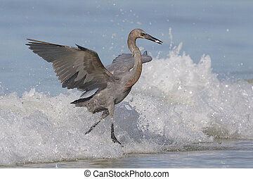 Reddish Egret emerging from the surf with a fish - Gulf of Mexico, Florida