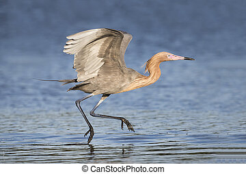 Reddish Egret Foraging in a Shallow Lagoon - Florida