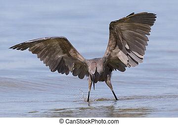 Reddish Egret stalking a fish - Gulf of Mexico, Florida