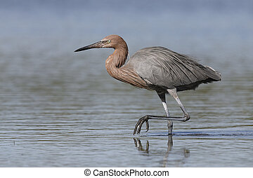 Reddish Egret stalking a fish - Pinellas County, Florida
